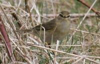 Attached Image: Willow Warbler.jpg