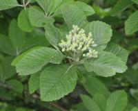 Attached Image: sorbus_rupicola.jpg
