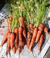 Attached Image: 2012-carrots.jpg