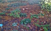 Attached Image: Cep array Wisley RHS December 10 2011.jpg