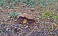 Attached Image: Huge Cep Wisley RHS December 10 2011.jpg